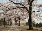 しぶかわ桜まつり1.jpg