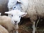グリーン牧場羊の赤ちゃん1.jpg