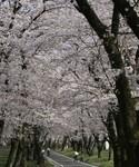 赤城南面千本桜まつり1.jpg