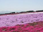 みさと芝桜公園.jpg