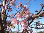 かわず桜1.jpg