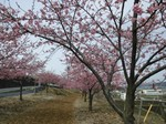 かわず桜2.jpg