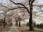 しぶかわ桜まつり2.jpg