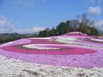 みさと芝桜.jpg