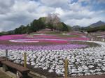 みさと芝桜0418.jpg