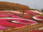 みさと芝桜公園2.jpg