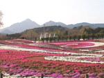 みさと芝桜3.jpg