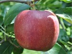 りんご・おぜの紅.jpg