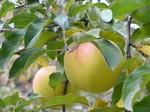 りんご・ぐんま名月.jpg