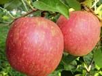 りんご・陽光.jpg