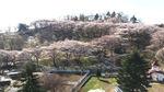 グリーン牧場の桜.jpg