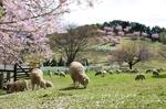 グリーン牧場の桜1.jpg