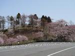 グリーン牧場の桜2.jpg