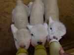 グリーン牧場の羊の赤ちゃん1.jpg