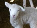 グリーン牧場の羊の赤ちゃん2.jpg