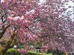 グリーン牧場八重桜.jpg