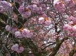 グリーン牧場八重桜1.jpg