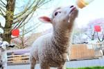 グリーン牧場羊.jpg