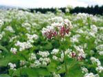 ソバの花.jpg