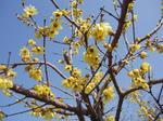 ロウバイの花.jpg