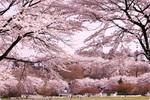 伊香保ぐりーん牧場の桜1.jpg