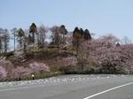 伊香保グリーン牧場の桜.jpg