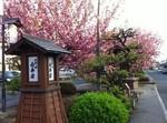 八重桜まつり3.jpg