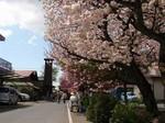 八重桜まつり4.jpg