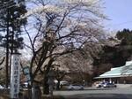 水澤観音の桜.jpg