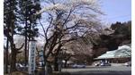 水澤観音の桜1.jpg