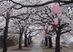 渋川総合公園の桜.jpg