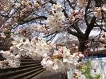 渋川総合公園の桜1.JPG