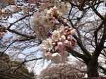渋川総合公園の桜2.JPG