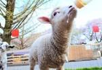 牧場羊赤ちゃん.jpg