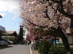 白井宿の桜1.jpg