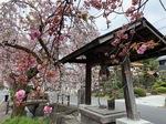 白井宿八重桜2.jpg