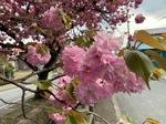白井宿八重桜3.jpg