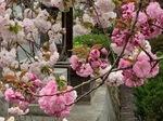 白井宿八重桜4.jpg
