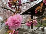 白井宿八重桜5.jpg
