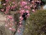 白井宿八重桜6.jpg