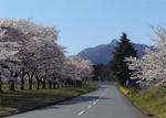 相馬が原自衛隊前の桜.jpg