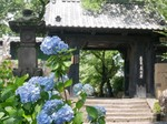 真光寺のアジサイ.jpg