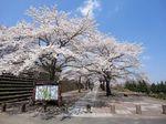総合公園の桜1.jpg