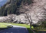 船尾滝入り口の桜.jpg