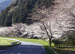 船尾滝入口の桜.jpg