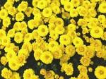 菊の花.JPG