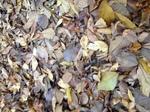 落葉のジュウタン.JPG