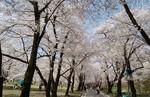 赤城南面千本桜1.jpg