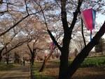赤城南面千本桜2.jpg