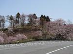 greenbokujyo-sakura1.jpg